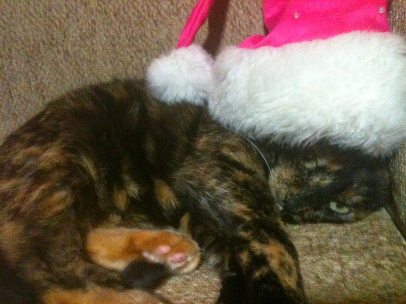 Cat in a pink santa hat